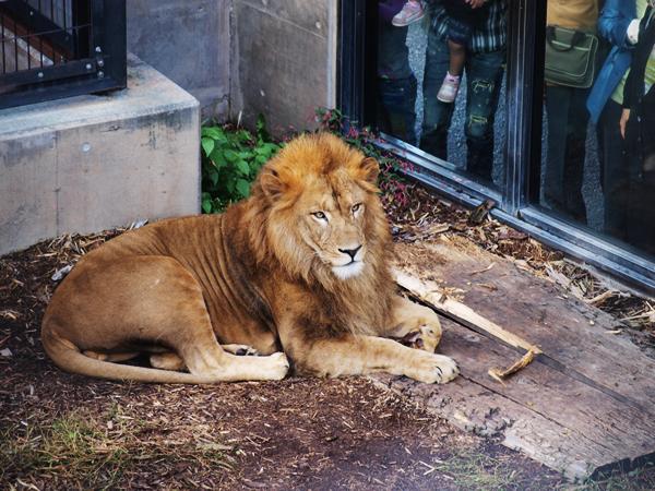 旭山のライオン丸