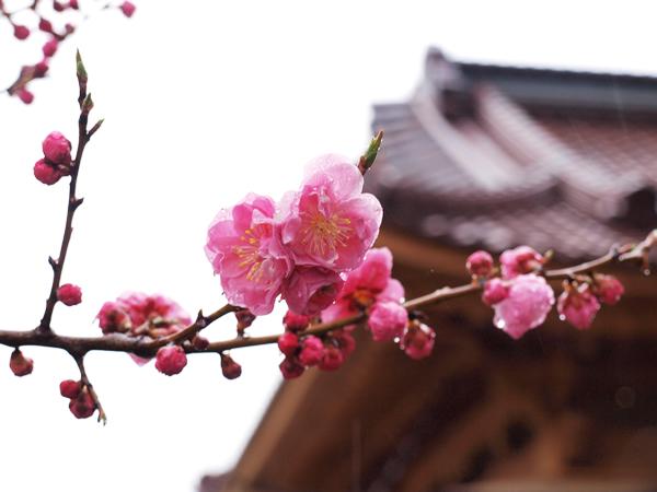 函館奉行所と梅