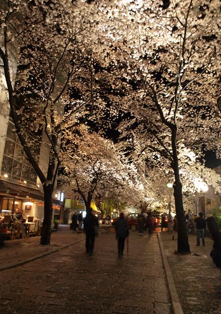 祇園白川通りの桜並木
