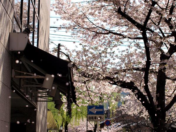 風に舞う桜 / 祇園白川