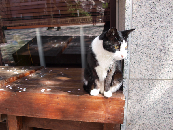 三毛猫じゃなくて二毛猫か。祇園白川