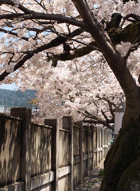 学校横の桜並木