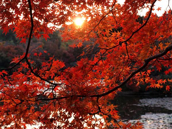 竜安寺の夕日と紅葉
