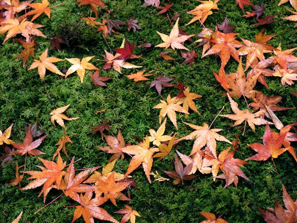 高桐院の落ち紅葉