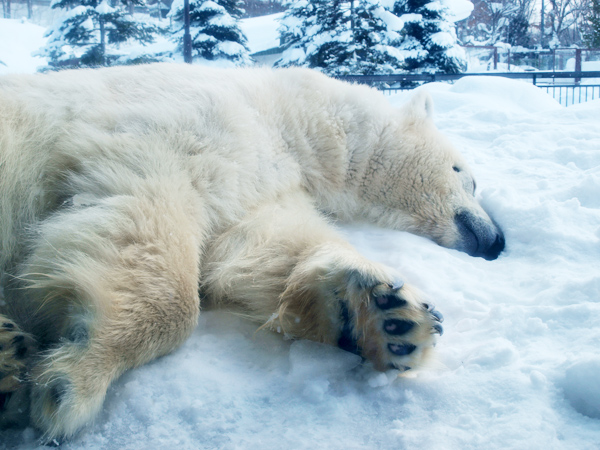 旭山動物園の白くま