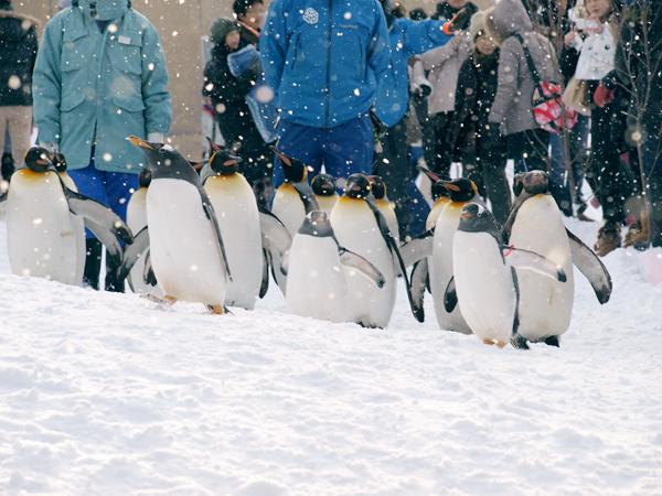 旭山動物園のペンギン行進